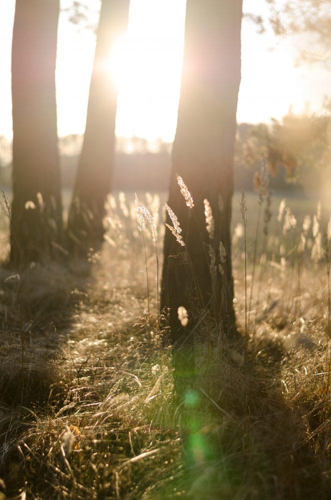 Foto af solskin ved aftentid set gennem tæstammer i det høje græs