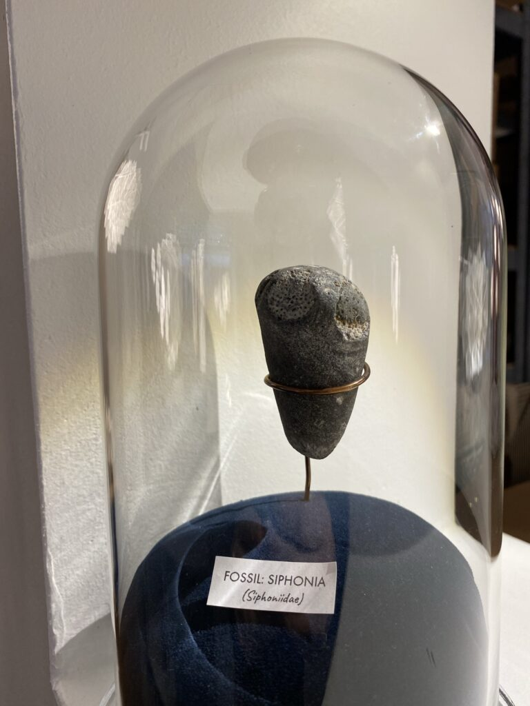 Siphonia fossilet fundet på Møns Klint af Frederik. Siphonia lægger navn til mit første Sonobe Light lampedesign